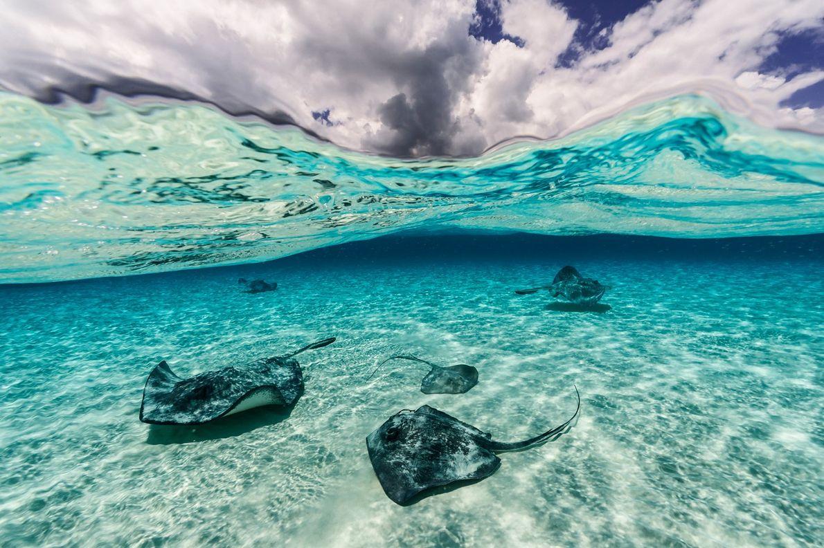 In the Grand Cayman Islands, stingrays swim along the sea floor.