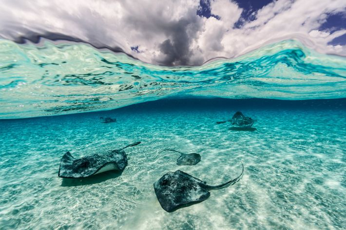 In the Grand Cayman Islands, stingrays swim along the sea floor.