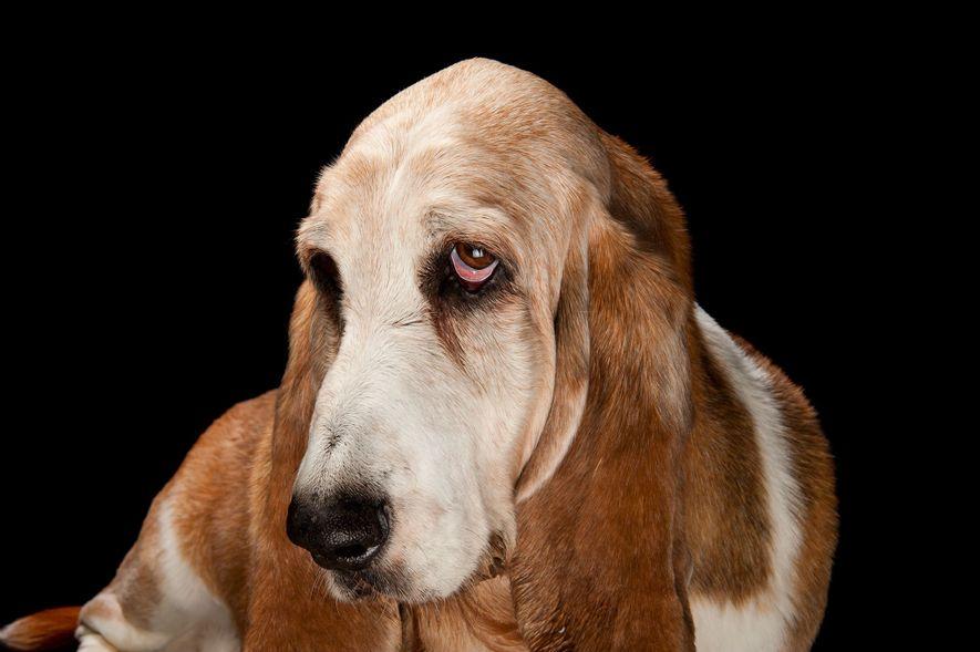 A Basset hound.