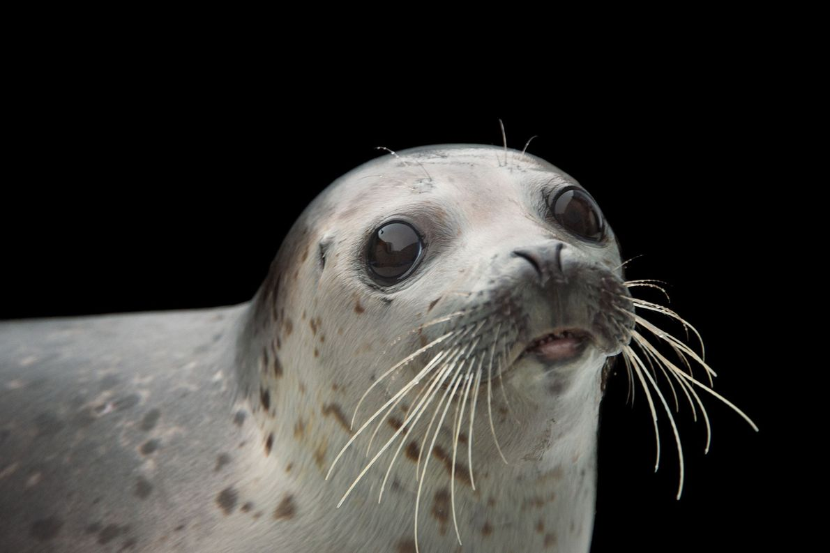 A spotted seal, Phoca largha, at the Alaska SeaLife Centre.