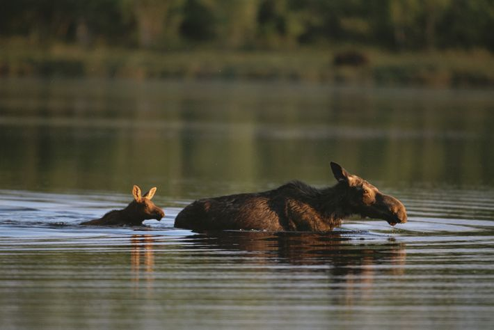 A female moose and her calf wade through a lake in Maine.