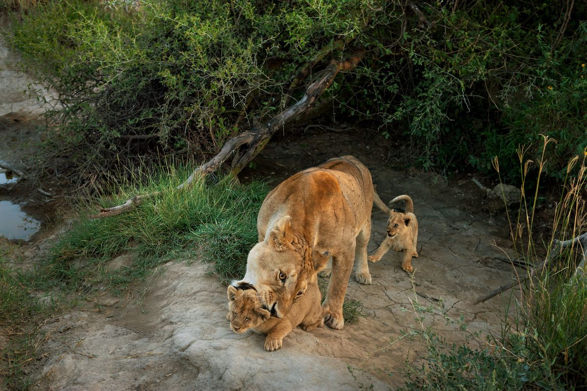 A lioness from the Barafu pride in Serengeti National Park wrangles her infant cubs.