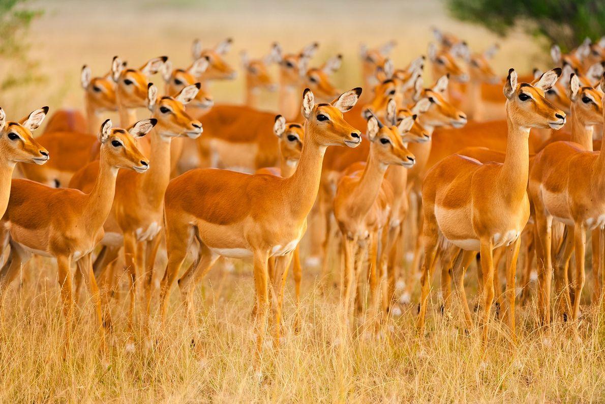 Female impalas stand on alert in Masai Mara National Reserve, Kenya.
