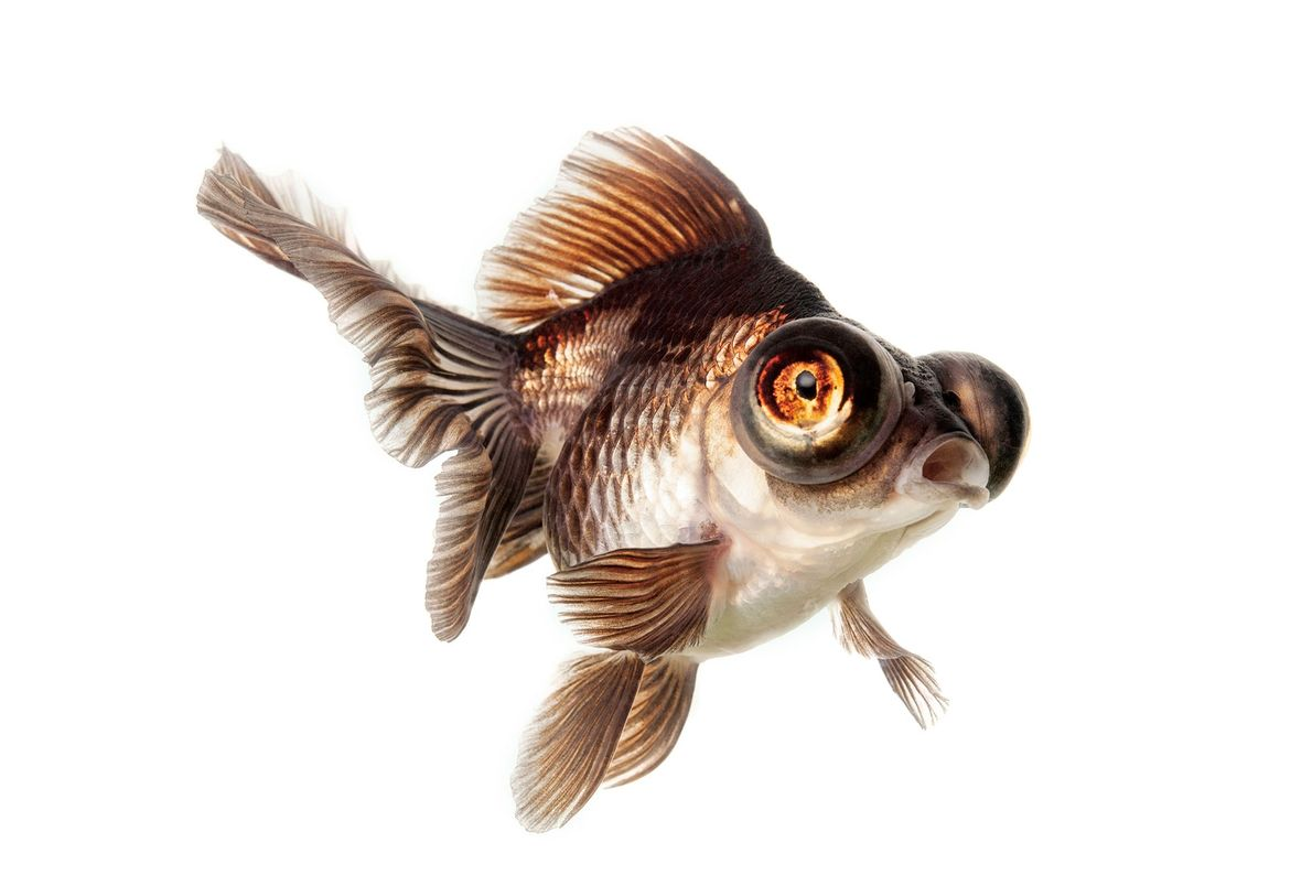This is a chocolate and white butterfly moor goldfish. Butterfly goldfish have fins that fan out ...