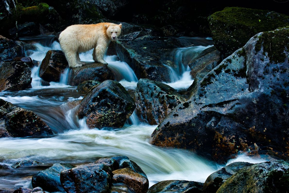 Kermode bears are found only in the remote archipelago of British Columbia's central coast.