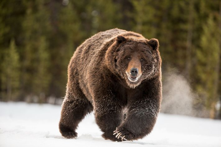 A grizzly bear on the move in Yellowstone National Park.