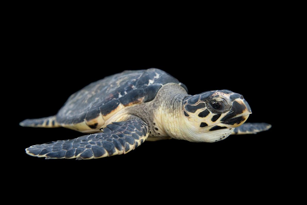 Hawksbill sea turtles are listed as critically endangered on the IUCN Red List. The tortoiseshell trade, ...