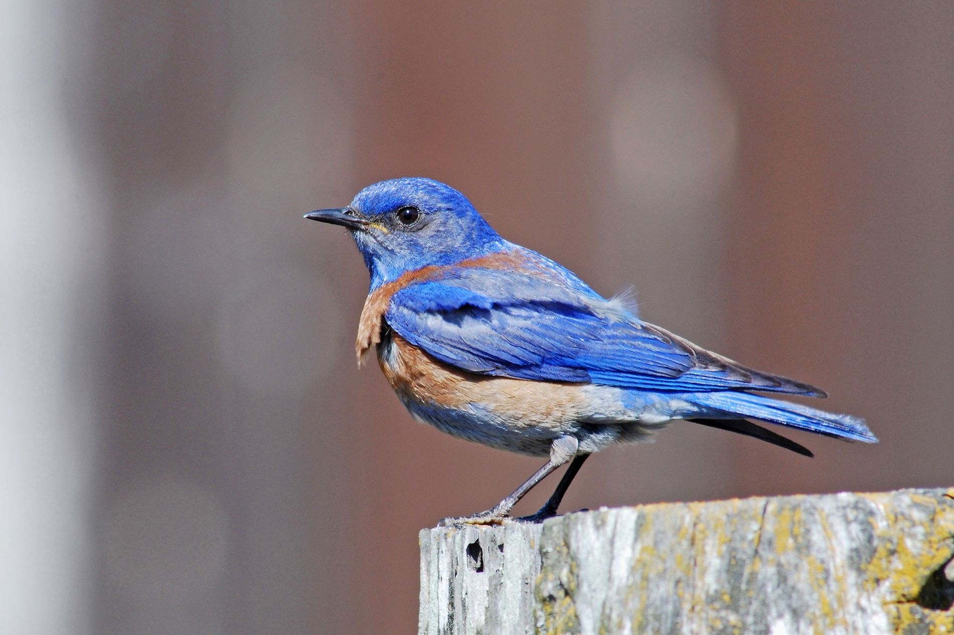 Western bluebirds nesting near oil and gas operations may not realize how harmful it can be ...
