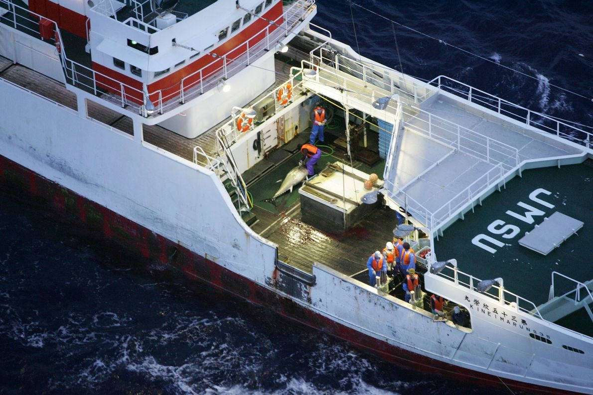 A Greenpeace operation sets out to save bluefin tunas, a species that migrates through much of ...