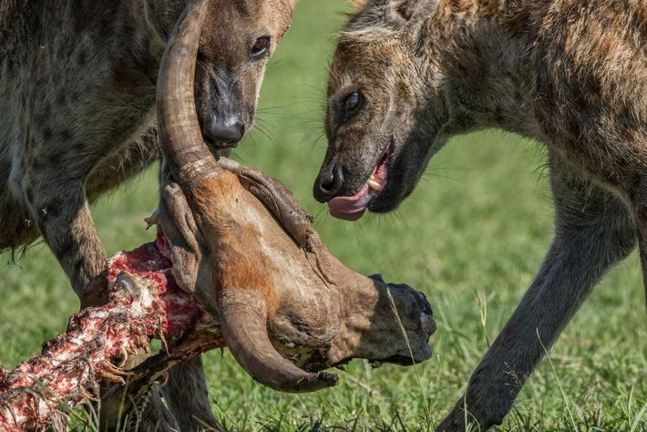 Spotted hyenas feed on the remains of a cow in Kenya. The animals are skilled predators ...