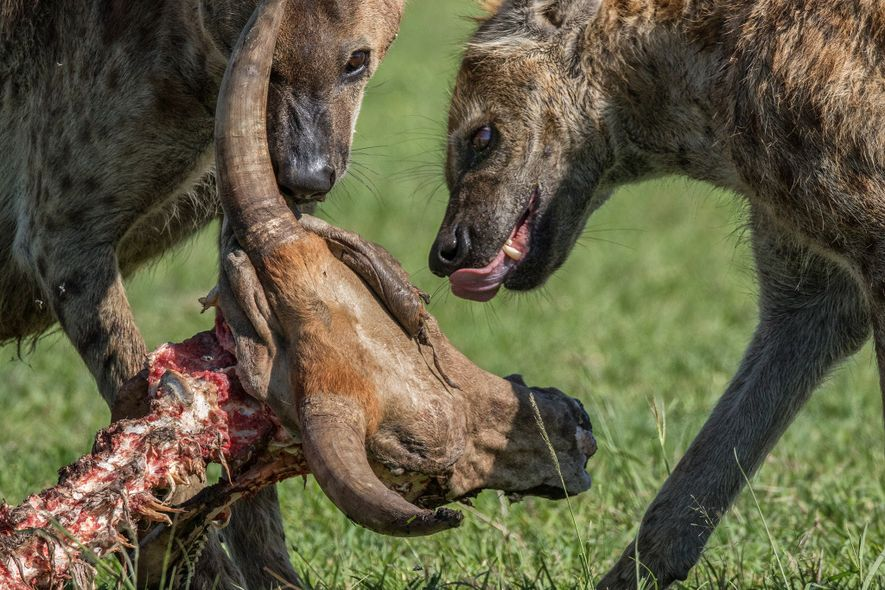 Spotted hyenas feed on the remains of a cow in Kenya. The animals are skilled predators and can hunt independently or in groups.