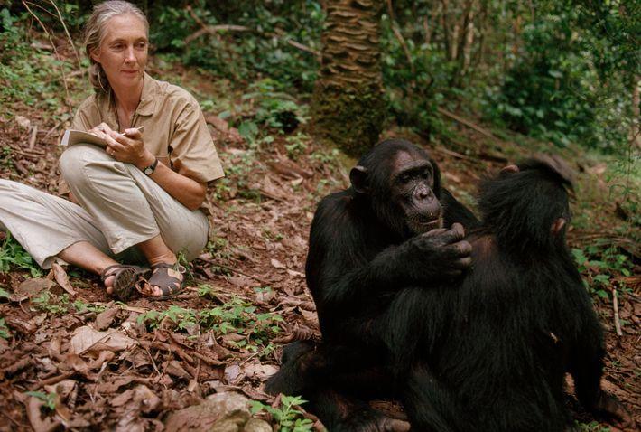 Jane Goodall observes chimpanzees in Gombe Stream National Park, Tanzania, 1990.