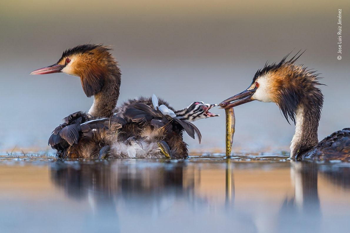 Jose Luis Ruiz Jiménez captured this image of a great crested grebe family in a lagoon ...