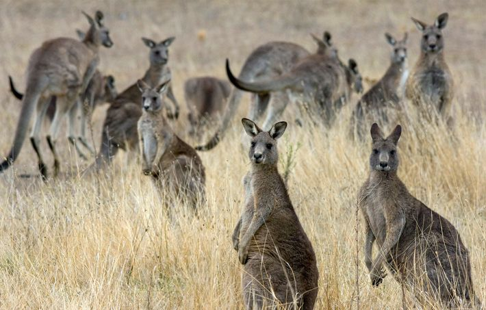 Many livestock owners view kangaroos as pests that compete with cattle and sheep for food and ...