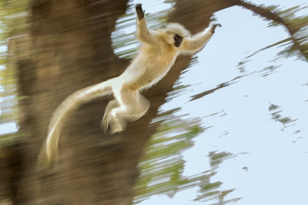 One of the most endangered species, golden langurs are restricted to only a small area in ...