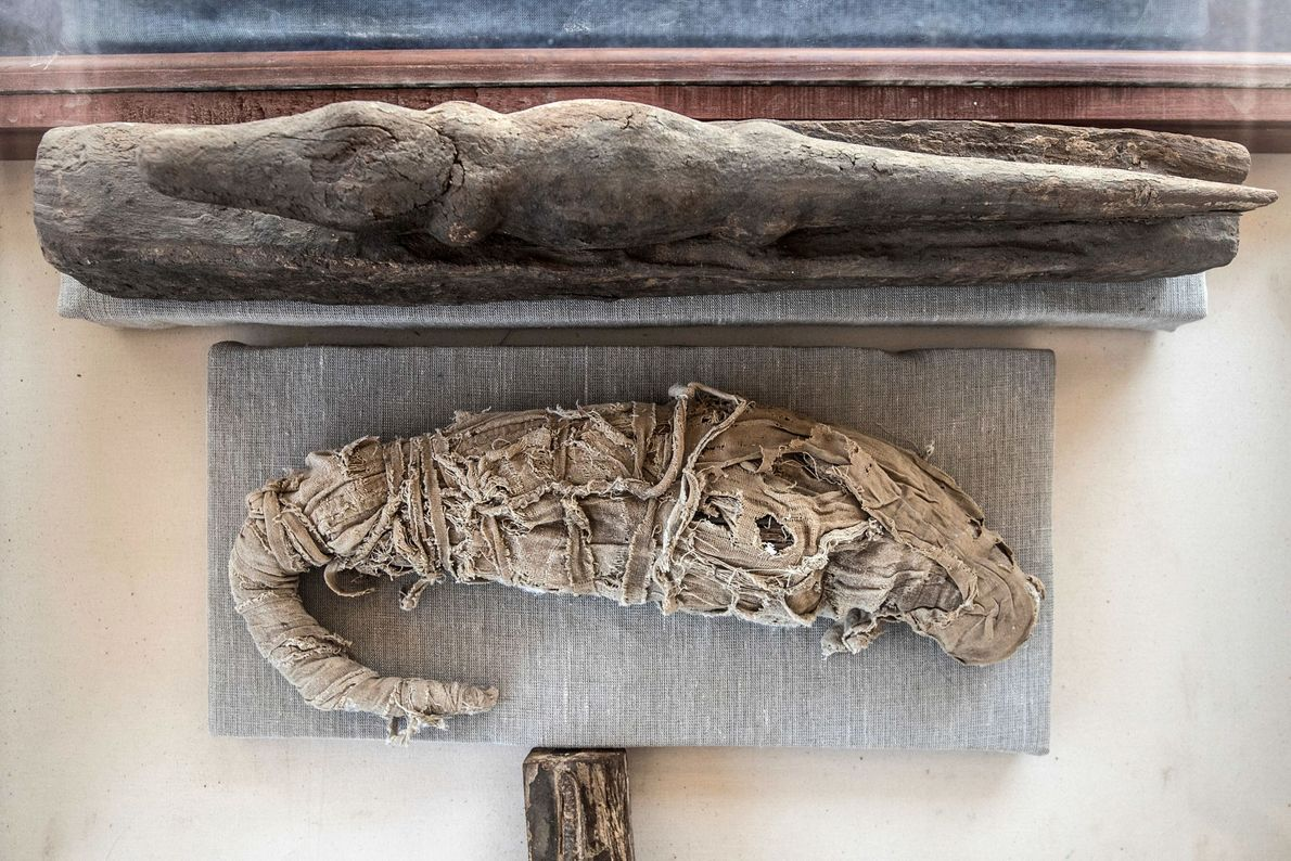 This mummified crocodile was also found recently at Saqqara.