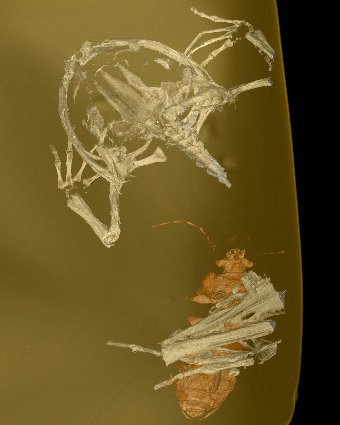 3-D scans also show fine detail in the Electrorana fossil frog.  ...