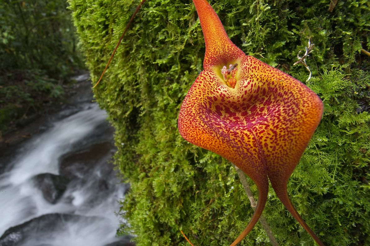 Many orchid species are very vulnerable to being over-harvested. Masdevallia orchids, such as the one pictured ...