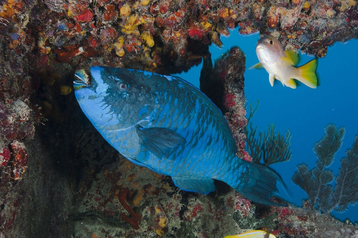 As they eat algae, parrotfish grind up coral and poo out fine-grained sediment that builds up ...