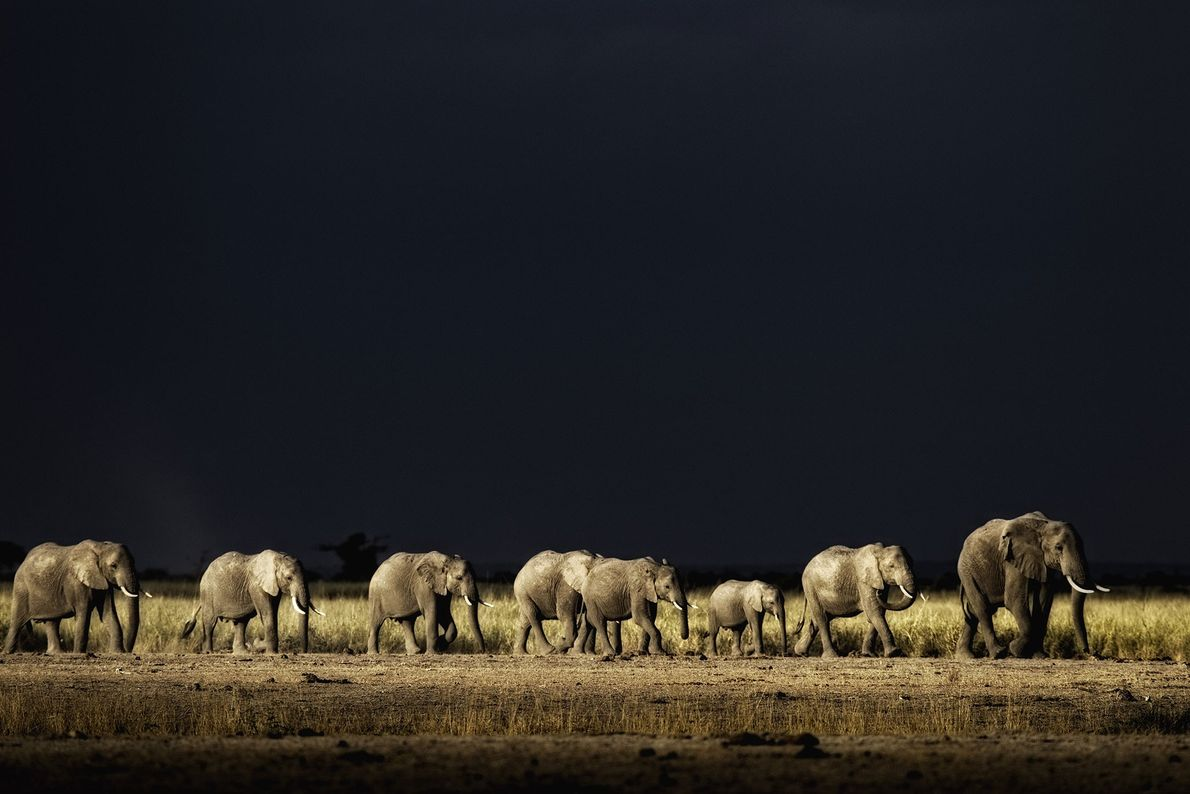 A herd of African elephants are on the move in Masai Amboseli National Park, Kenya.