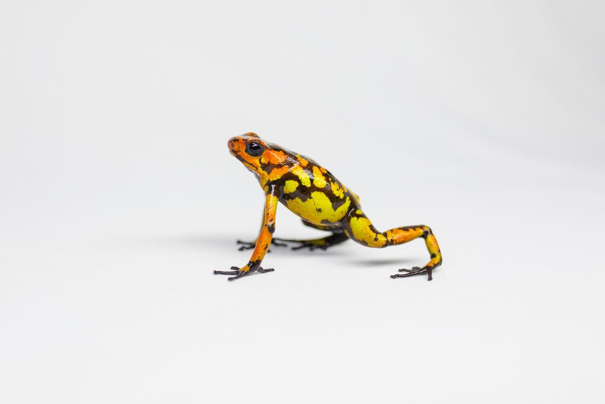 The harlequin poison frog has more than 30 known colour variations.