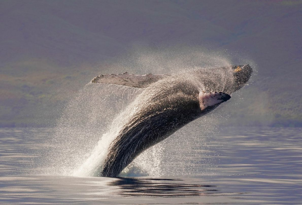 A Humpback whale breaches is this brilliantly-timed shot by Liz McRae.