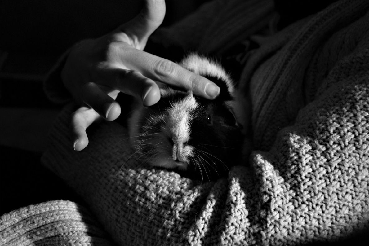 """We recently adopted a guinea pig and have been slowly getting her acclimated to being held,"" ..."
