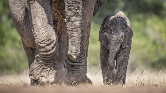 Your Shot photographer Kevin Dooley documented this elephant calf walking besides its mother in the Idube ...