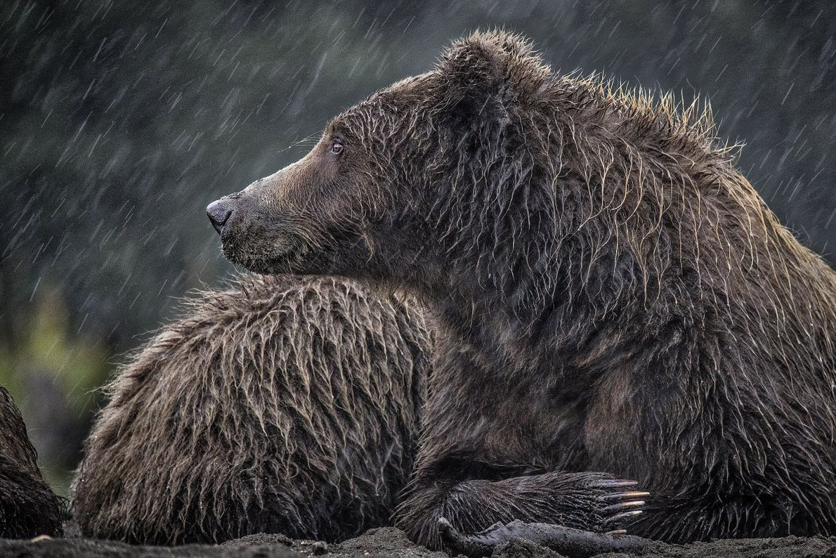 """""""This mama grizzly bear was drenched from a long and cold rain. She had such a ..."""