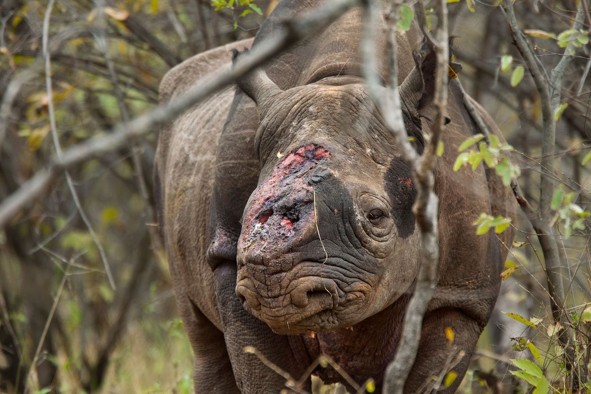 Game scouts found this black rhino bull wandering Zimbabwe's Saveacute Valley Conservancy after poachers shot it ...
