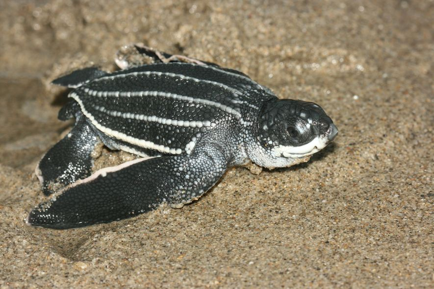 The leatherback sea turtle—the world's largest living turtle—was designated one of Trinidad's environmentally sensitive species in 2014. The ...