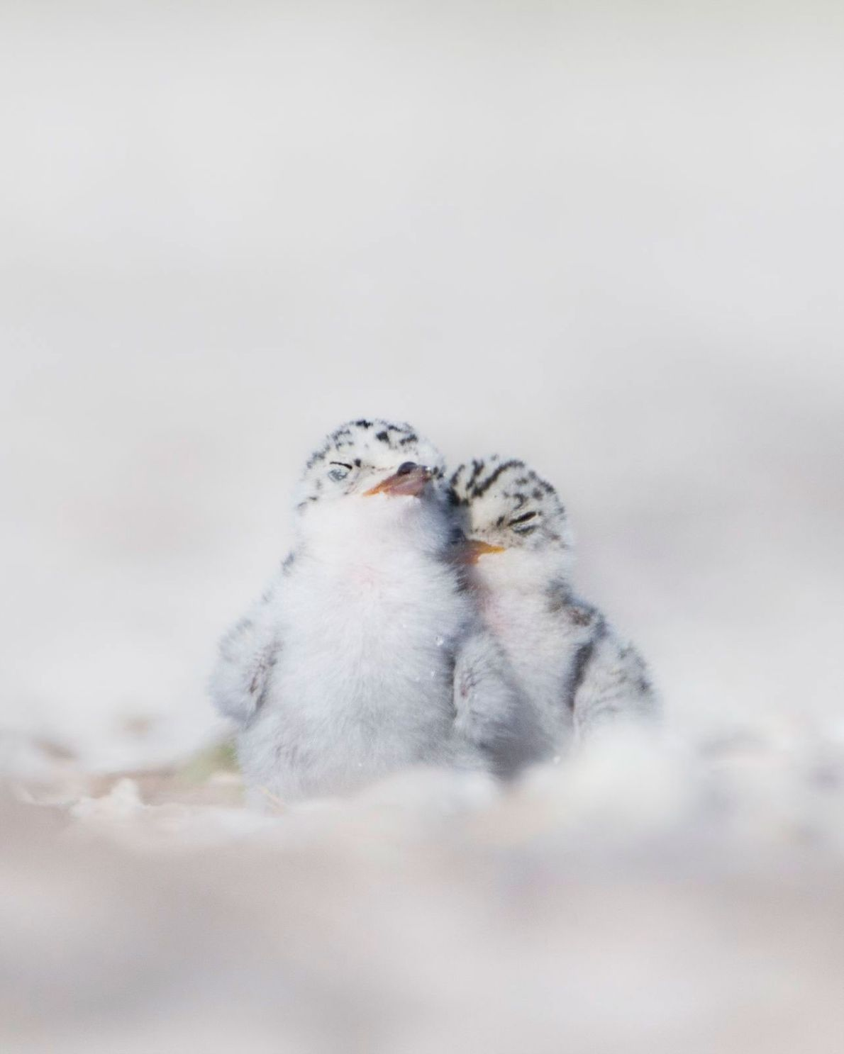 A pair of tern chicks sleep side by side on the beach at Stump Pass State ...