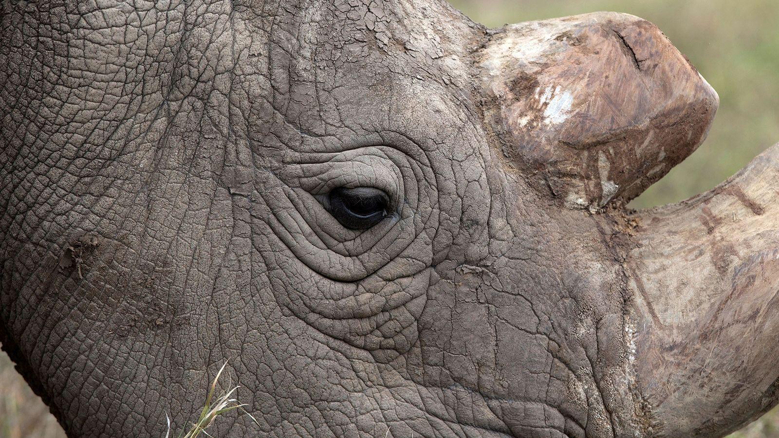 Sudan, the last surviving male northern white rhino, grazes at the Ol Pejeta Conservancy in Laikipia ...