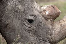 Sudan, the last surviving male northern white rhino, grazes at the Ol Pejeta Conservancy in Laikipia ...