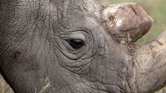 Survival of Northern White Rhino Hinges on Last Sick Male