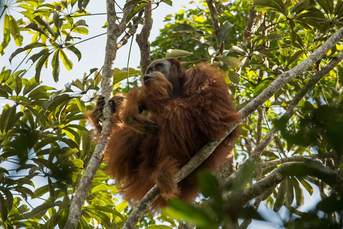 The newfound orangutan species is endangered—like its Sumatran and Bornean orangutan kin.