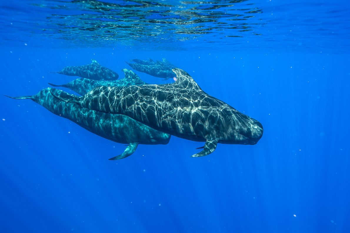 Pilot whales swim off Kona, Hawaii. Oceanic whitetip sharks sometimes follow pods of these whales, possibly ...