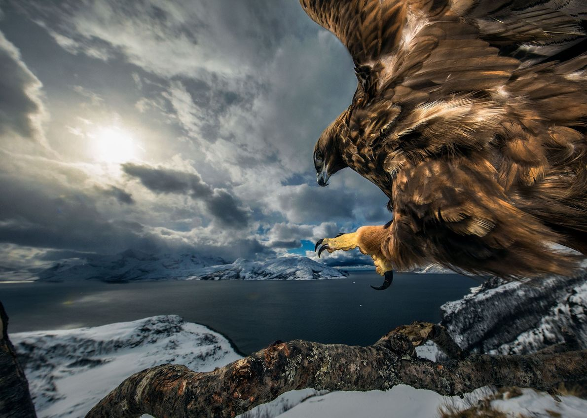 Norwegian photographer Audun Rikardson won the 'bird behaviour' category with this camera trap photo of a ...