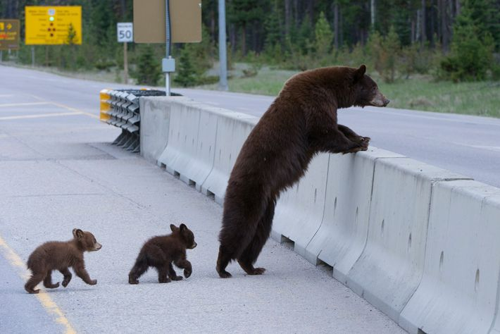 Even when animals don't have safe ways to cross highways, many species will try anyway, including ...