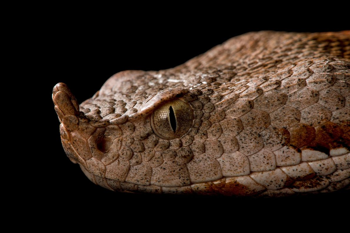 A European long-nosed viper, 'Viper ammodytes ammodytes', at the St. Louis Zoo.