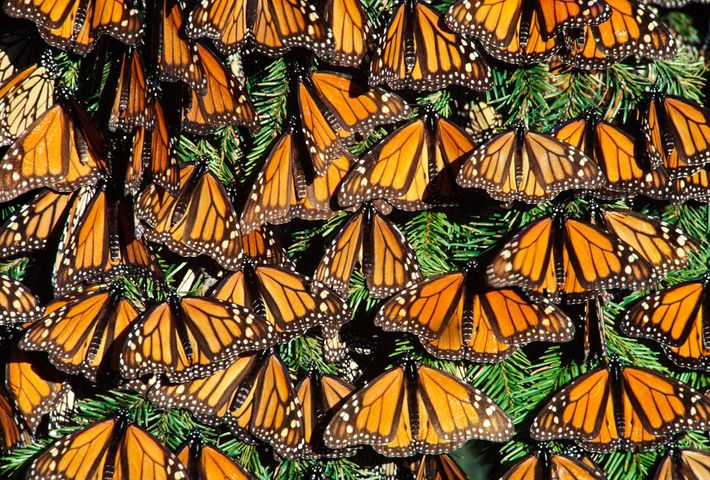 Monarch butterflies sun themselves in Michoacan, Mexico.