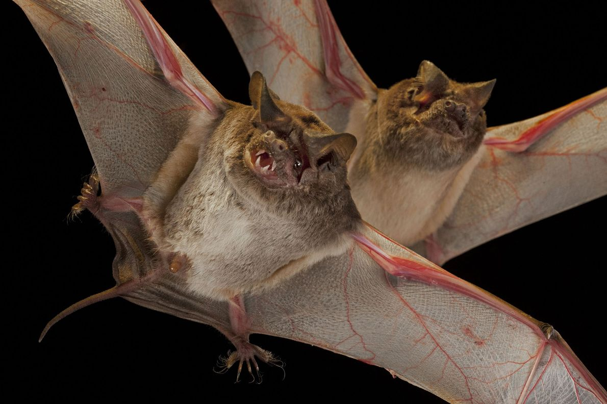 Naked-tailed bats (Molossidae family) from Chitengo Camp in GNP