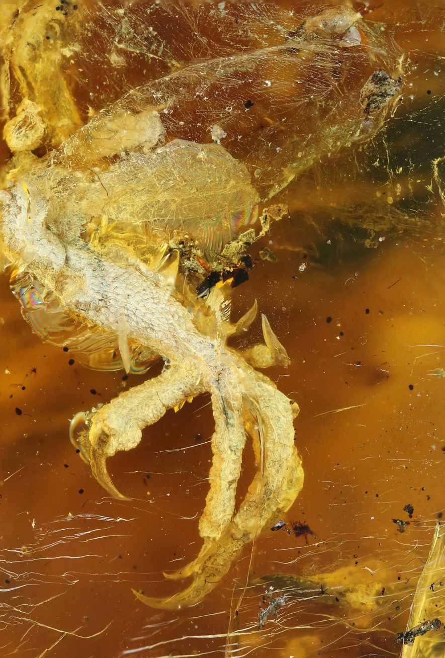 See Pictures of Baby Bird from Time of Dinosaurs Found Fossilised in Amber