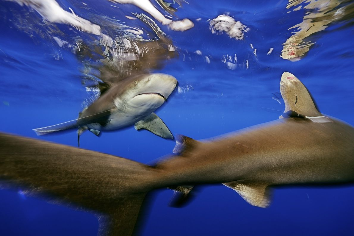 Oceanic whitetip sharks swarm the waters off Cat Island.