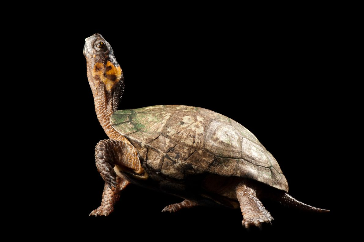 Bog Turtle - Joel Sartore photographed this bog turtle as part of the Photo Ark project, which aims to document all of the world's 12,000 captive species - Bog turtles' wetlands habitat is threatened by extreme weather connected to climate change. Photograph by Joel Sartore, National Geographic Creative