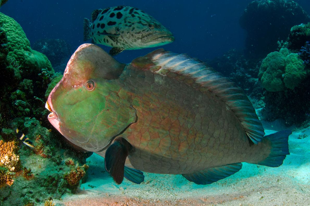 A bumphead parrotfish and a grouper hover near the sandy bottom.