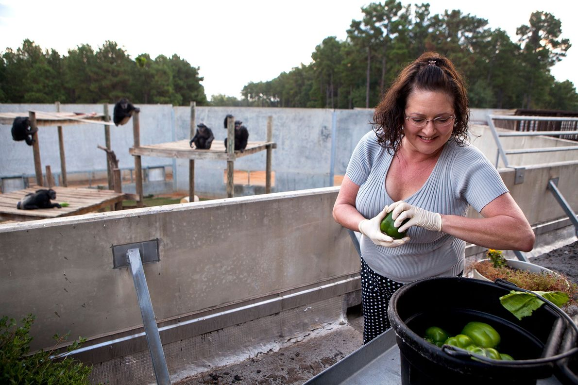 A staff member at Chimp Haven throws peppers to a group of chimps in their enclosure.