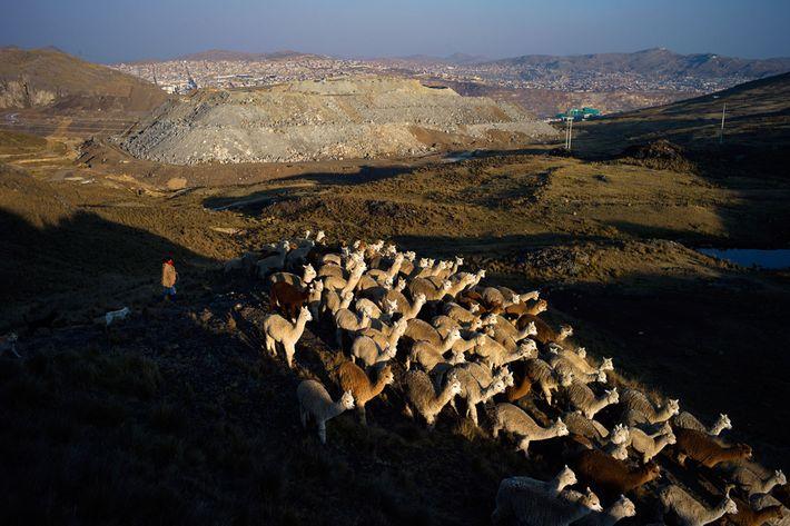 A herder drives alpacas and llamas back towards home in Botadero de Rumiallana, in the hills ...