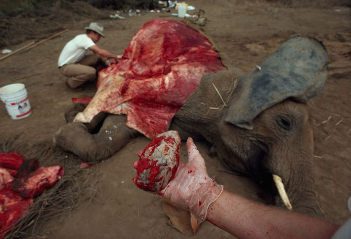 On an elephant that died of natural causes, archaeologists tested how fast they could butcher meat ...