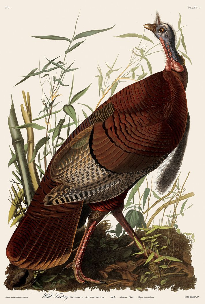 This life-size watercolour of a wild turkey appears in John James Audubon's famous 'Birds of America', ...
